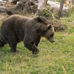 Grizzly Bear 8459small