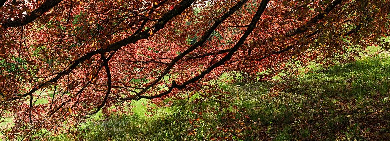 1170Beech Tree Branches TB245A Ho