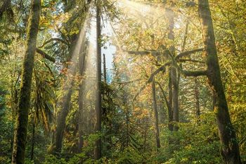 Autumn Forest Sunrays AT390A