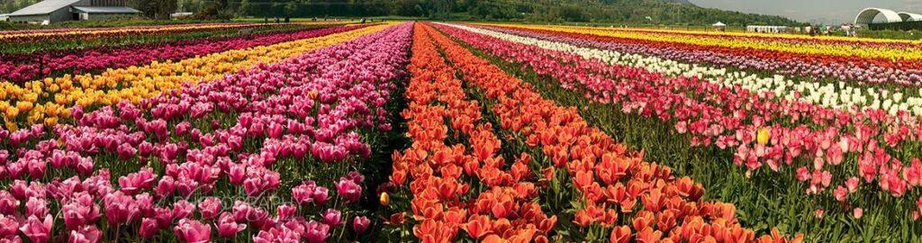 Tulip Abbotsford