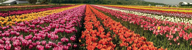 Tulip Abbotsford TA455A