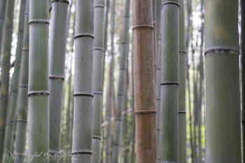 Arashiyama_Bamboo_Forest_4367_ws