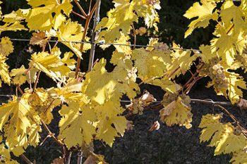 Grape_Vines_GV204A_ws