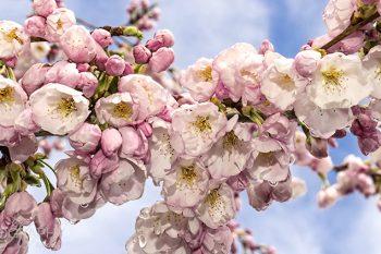 Cherry_Blossoms_CB239A_ws