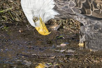 Eagle_Mirror_216_ws