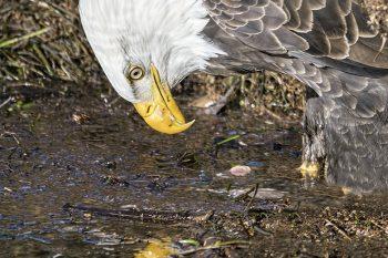 Eagle_Mirror_216_ws