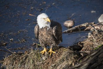 Eagle_Portrait_215_ws