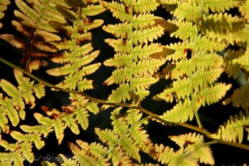 Fall_Ferns_2925_ws