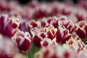 Fields_of_Tulips_FT242A_ws