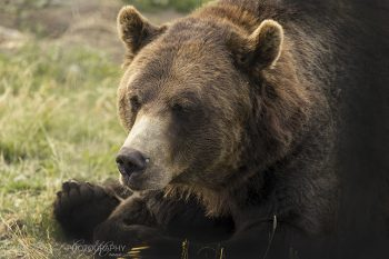 Grizzly_Bear_8449_ws