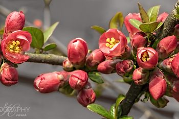 Plum_Blossoms_PB240A_ws