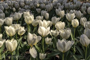 White_Tulips_Pano_TP294A_ws