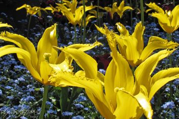 Yellow_Tulips_YT256A_ws
